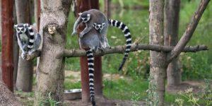 lemury-1-300x150